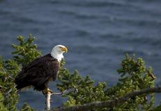 A águia calva empoleirou-se Imagens de Stock Royalty Free