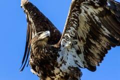 Águia calva imatura Foto de Stock Royalty Free