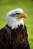 Águia calva, leucocephalus do haliaeetus Fotos de Stock Royalty Free