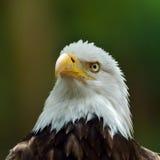 A águia calva (leucocephalus do Haliaeetus) Fotos de Stock Royalty Free