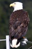 Águia calva - pássaro em um fio Imagem de Stock