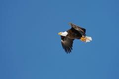 Águia calva selvagem de encontro ao céu azul Imagens de Stock