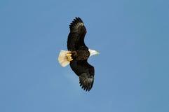 Águia calva selvagem de encontro ao céu azul Imagem de Stock Royalty Free