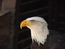 Águia corajosa americana Foto de Stock Royalty Free