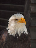 Águia corajosa americana Fotos de Stock