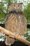 Águia-Coruja Imagens de Stock Royalty Free