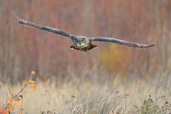 Águia-Coruja do Eurasian do vôo fotos de stock royalty free