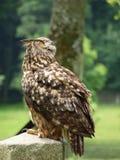 Águia-coruja euro-asiática - bubão do bubão Fotografia de Stock Royalty Free