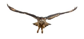 Águia-Coruja euro-asiática, bubão do bubão, 15 anos velho imagens de stock royalty free