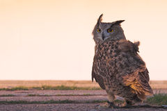 Águia-coruja (vista traseira) Fotos de Stock