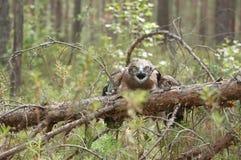 Águia Curto-toed adulto da serpente em ramos spruce Fotografia de Stock Royalty Free