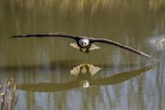 Águia de Blad Fotos de Stock Royalty Free