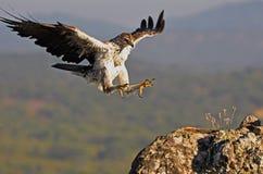 A águia de Bonelli chega em seu estalajadeiro fotos de stock