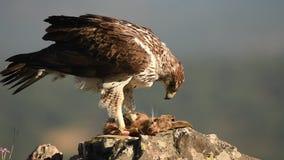 A águia de Bonelli come um coelho na rocha filme