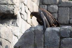 Águia de Brown em rochas fotos de stock