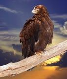 Águia de encontro ao céu do por do sol Fotografia de Stock