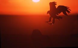 Águia de Golde que é dourada Fotos de Stock