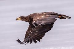 A águia de mar Imagens de Stock Royalty Free