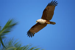 águia de mar Branco-inchada Imagens de Stock Royalty Free