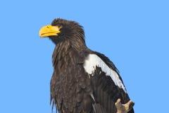 Águia de mar de Steller Fotos de Stock Royalty Free