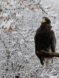 Águia de mar de Steller no inverno fotografia de stock royalty free