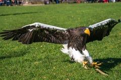 A águia de mar do Steller, pelagicus s do Haliaeetus um grande pássaro de rapina fotos de stock royalty free