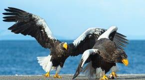 Águia de mar de dois Steller adultos na luta para a rapina fotos de stock royalty free