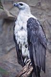 Águia de mar inchada branca que empoleira-se no tronco de árvore fotos de stock