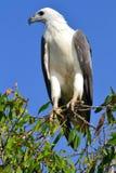 Águia de mar inchada branco em Kakadu Fotos de Stock