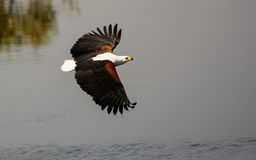 Águia de peixes africana no vôo imagem de stock royalty free