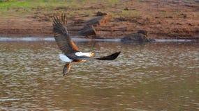 Águia de peixes com uma captura fresca Imagens de Stock Royalty Free