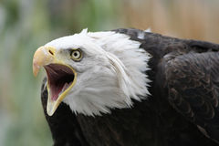 Águia defensiva Fotografia de Stock Royalty Free
