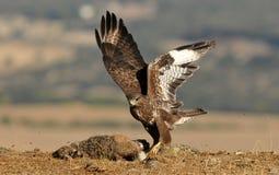 águia do busardo com uma lebre no campo imagem de stock