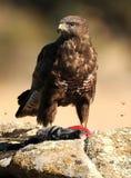 Águia do busardo com uma pomba na rocha imagens de stock