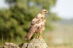 águia do busardo empoleirada em uma pedra imagens de stock royalty free