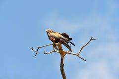 Águia do estepe Foto de Stock Royalty Free