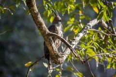 Águia do falcão na árvore Fotos de Stock