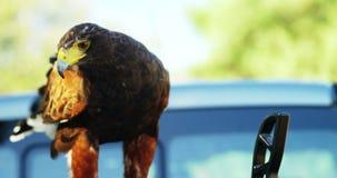 Águia do falcão que empoleira-se na besta vídeos de arquivo