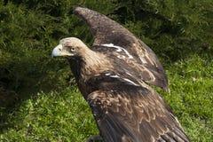 Águia dos chrysaetos de Aquila que spreding suas asas Imagem de Stock Royalty Free