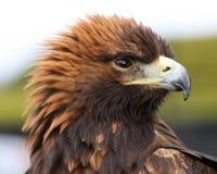Águia dourada Fotografia de Stock Royalty Free
