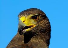 Águia dourada Fotos de Stock