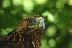 Águia dourada Fotografia de Stock