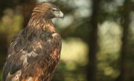 Águia dourada Fotos de Stock Royalty Free