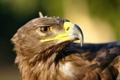 Águia dourada Imagem de Stock