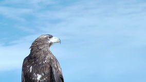 Águia dourada Aquila Chrysaetos video estoque
