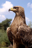 Águia dourada bonita Fotografia de Stock Royalty Free