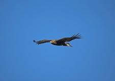 Águia dourada, chrysaetos de Aquila fotografia de stock