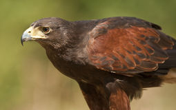Águia dourada - Scotland Fotos de Stock Royalty Free