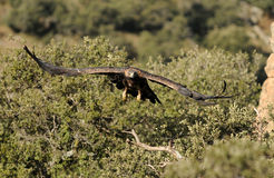 A águia dourada voa através das madeiras fotografia de stock