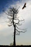 Águia e árvore imagem de stock